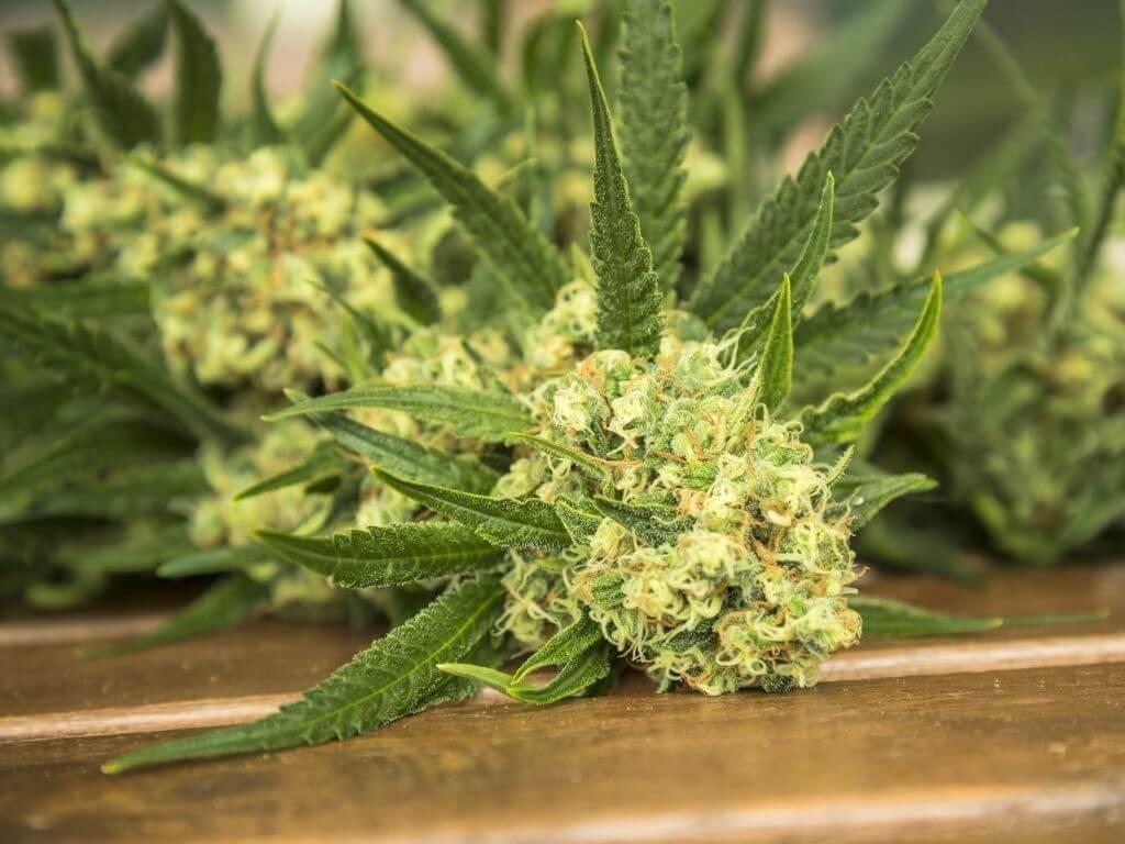 harvested-cannabis-1024x768