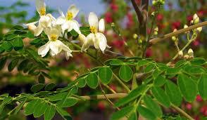 moringa-rastlina-z-najvec-hranilnimi-lastnostmi