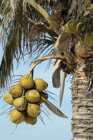 kokosov-oreh-nikakor-ne-pozabite-nanj-v-teh-poletnih-dneh